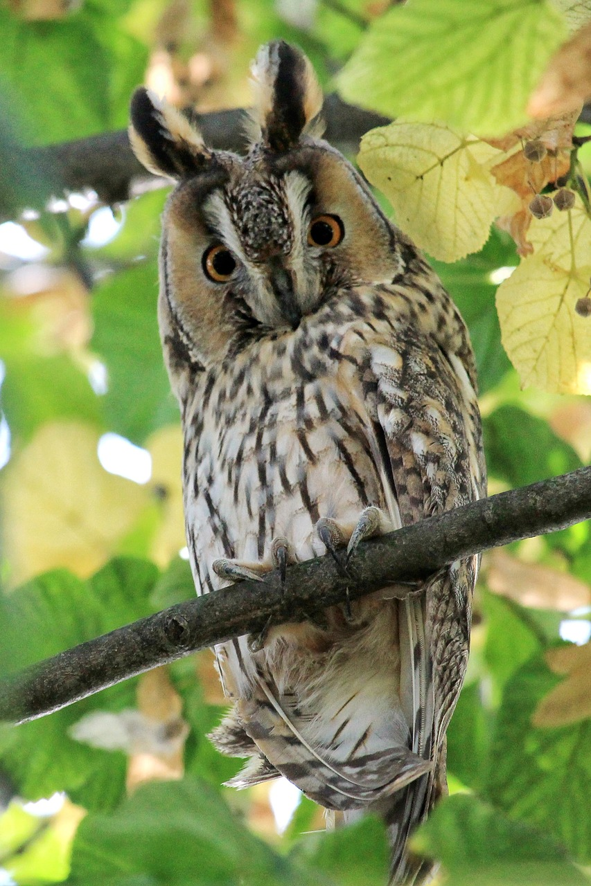 long eared owl 1710512 1280